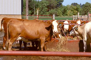 Thinning the herd is not a bad idea for those of us that did not receive rains recently. With the outlook of limited fall pasture and even more serious problem of lack of hay or feed resources to adequately winter the cow herd, some measures may need to be implemented in order to stretch the available feed resources.
