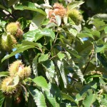 The chestnuts ripen every year at Fall Festival time.